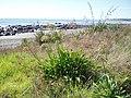 Agapanthus praecox orientalis Willd. (AM AK289837-2).jpg