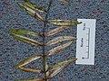 Agathis australis (D.Don) Lindl. ex Loudon (AM AK289991-2).jpg