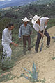 Agaves for erosion control (7371567688).jpg
