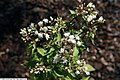 Ageratina altissima 1zz.jpg