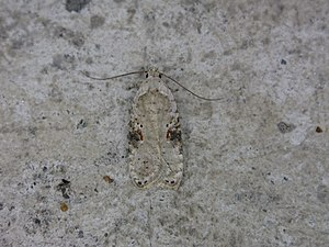 Agonopterix alstroemeriana - A well-camouflaged adult