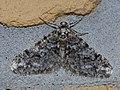 Agriopis leucophaearia ♂ - Spring usher (male) - Пяденица-обдирало светло-серая (самец) (40871904142).jpg