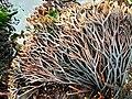 Ahnfeltiopsis linearis, Cambria.jpg