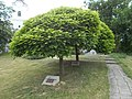 Ajka-Unna 1991-2001 plaque and memorial tree, Church Hill Park, 2019 Ajka.jpg