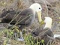 Albatross birds - Espanola - Hood - Galapagos Islands - Ecuador (4871000181).jpg