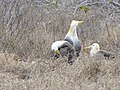 Albatross birds - Espanola - Hood - Galapagos Islands - Ecuador (4871702308).jpg