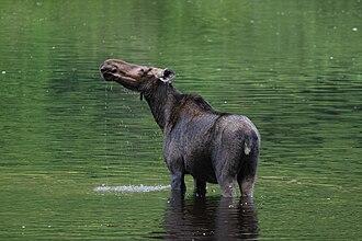 Jacques-Cartier National Park - Female moose inside the park.