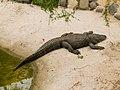 Alligator mississippiensis - Oasis Park - 01.jpg