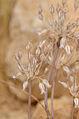 Allium desertorum 1.jpg