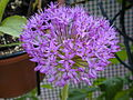 Allium gladiator fax01.JPG