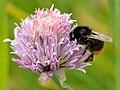 Allium schoenoprasum - Bombus lapidarius - Tootsi.jpg