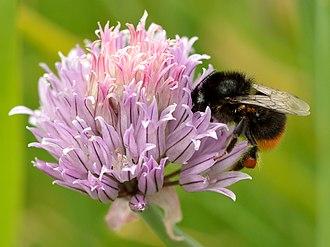 Chives - Image: Allium schoenoprasum Bombus lapidarius Tootsi