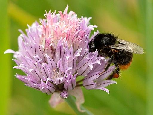 Allium schoenoprasum - Bombus lapidarius - Tootsi