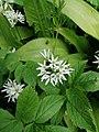 Allium ursinum 126326164.jpg