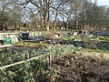 Allotments in January - geograph.org.uk - 1152900.jpg