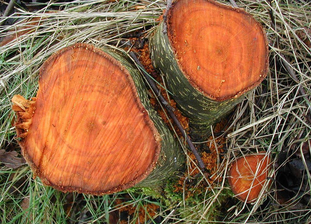 Jelša lepkavá - drevo
