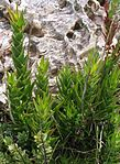Aloe juddii - Cape Agulhas - South Africa 7.JPG