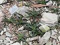 Aloe rauhii - Palmengarten Frankfurt - DSC01695.JPG