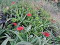 Aloe sp. Ribaue 4 (5960836629).jpg