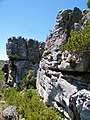 Aloe succotrina - Colony of several Fynbos Aloes on cliff face - SA.jpg