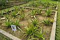 Aloe vera - Agri-Horticultural Society of India - Alipore - Kolkata 2013-01-05 2335.JPG