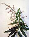 Aloysia citriodora or Aloysia triphylla (8730120252).jpg