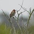 Alpha male House Finch (50164089152).jpg