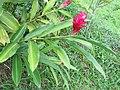 Alpinia purpurata - Red Ginger from Peravoor (7).jpg