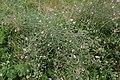 Althaea cannabina Ambérac 3.jpg