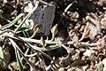 Alyssum desertorum var desertorum 4.jpg