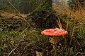 Amanita muscaria (30038873196).jpg