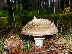 Amanita pantherina 2.jpg