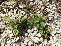 Amaranthus blitum subsp. blitum sl21.jpg