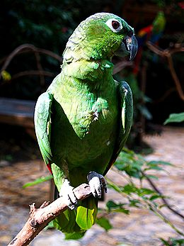 Amazona farinosa -Macaw Mountain Bird Park-8c.jpg