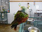 Amazona guildingii -World Parrot Refuge, Coombs, British Columbia, Canada-8a.jpg