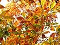 American Beech Leaves - Flickr - treegrow (9).jpg