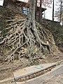 American Beech Tree - Falls Park - Greenville, SC.jpg