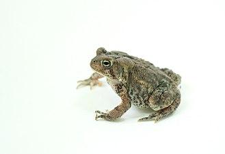 American toad lightbox 2.jpg