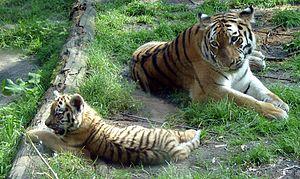DierenPark Amersfoort - Siberian tigers: Kira with a daughter