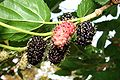 Amora fruto.jpg