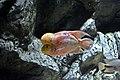 Amphilophus Citrinellus.jpg