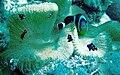 Amphiprion chrysogaster 07.jpg