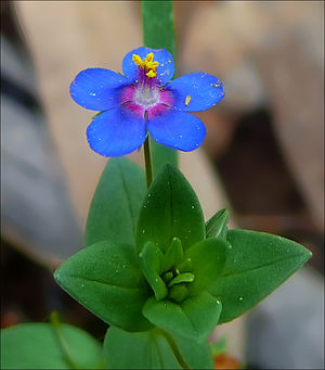 Anagallis arvensis - Azure-blue Anagallis arvensis, a blue form