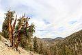 Ancient Bristlecone Pine overlooking the mountains - Flickr - daveynin.jpg