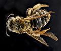Andrena bisalicis, female, back 2012-08-06-17.48.06 ZS PMax (8027484973).jpg