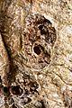 Andricus quercuscorticis 2545M.jpg