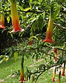 Angel's trumpet, Coleton Fishacre - geograph.org.uk - 811188.jpg