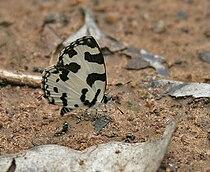 Angled Pierrot (Caleta caleta) in Talakona forest, AP W IMG 8599.jpg