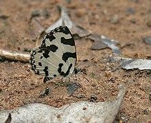 Pierrot à angle (Caleta caleta) dans la forêt de Talakona, AP W IMG 8599.jpg