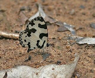 <i>Caleta</i> (butterfly) Butterfly genus in family Lycaenidae